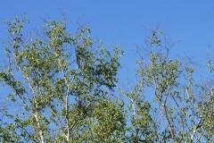 Birkenwipfel an der Ruderregattastrecke Oberschleißheim - Foto: Annette Heuwinkel-Otter