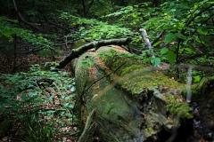 """Lebendiges """"Totholz"""" im Bannwald Lüerdissen - Foto: Frank Möller"""