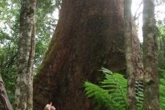 Eucalyptus Regnans - Otway National Park, Vic. Australien - Foto: Frank Möller