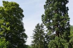Sequoia Gigantea im Palaisgarten Detmold - Foto: Frank Möller
