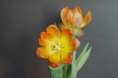 Zwei-Tulpen - Foto: Annette Heuwinkel-Otter