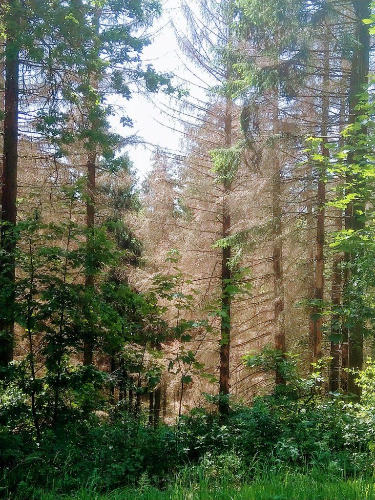 Kranke Fichten im Teutoburger Wald - Foto -Christian Thieme