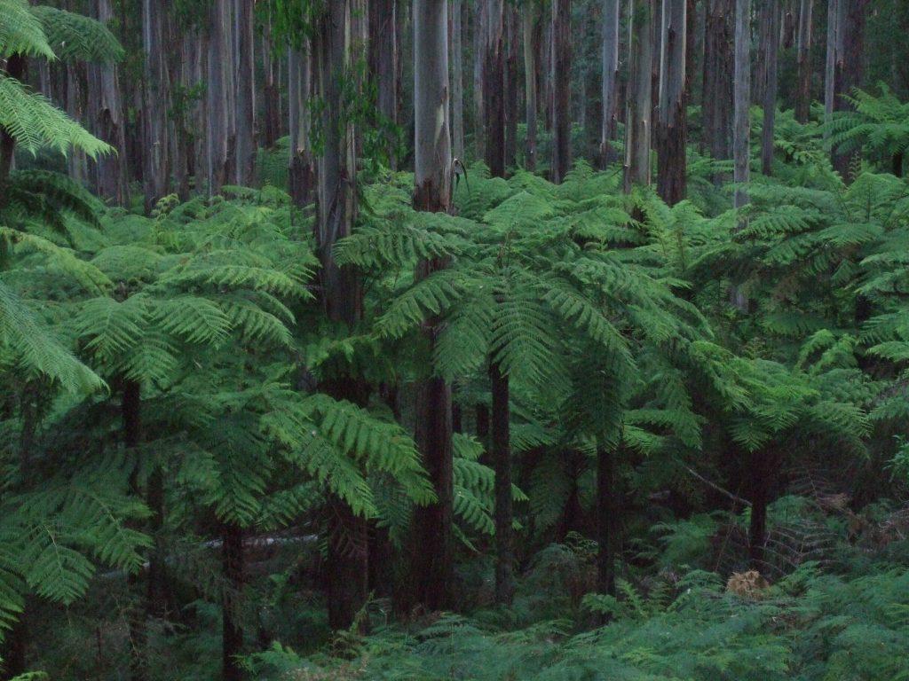 Yarra Rainforest, Yarra Ranges, Vic. Australien - Foto: Frank Möller